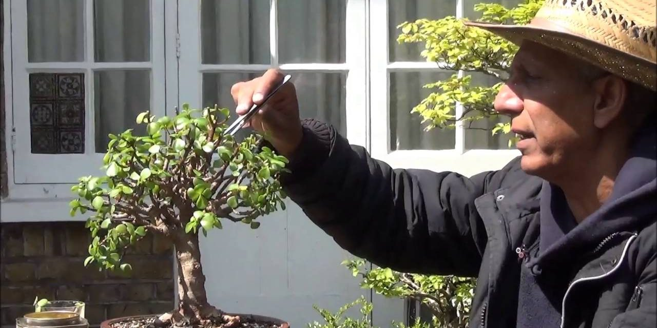 Bonsai Portulacaria Afra Broom Style Pruning Cuttings To Grow More Wiring Styles