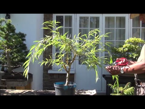 Grow Trees From Cuttings How To Grow Bonsai Weeping Willow Trees From Cuttings Part 2 Mikbonsai Trees South West London