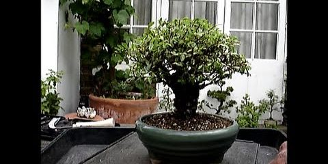 Cork Bark Chinese Elm Repotted And Pruned Mikbonsai Trees South West London