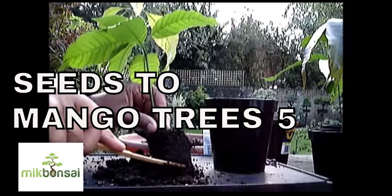 How To Grow Bonsai Mango Trees From Seeds Part 5 Mikbonsai Trees South West London