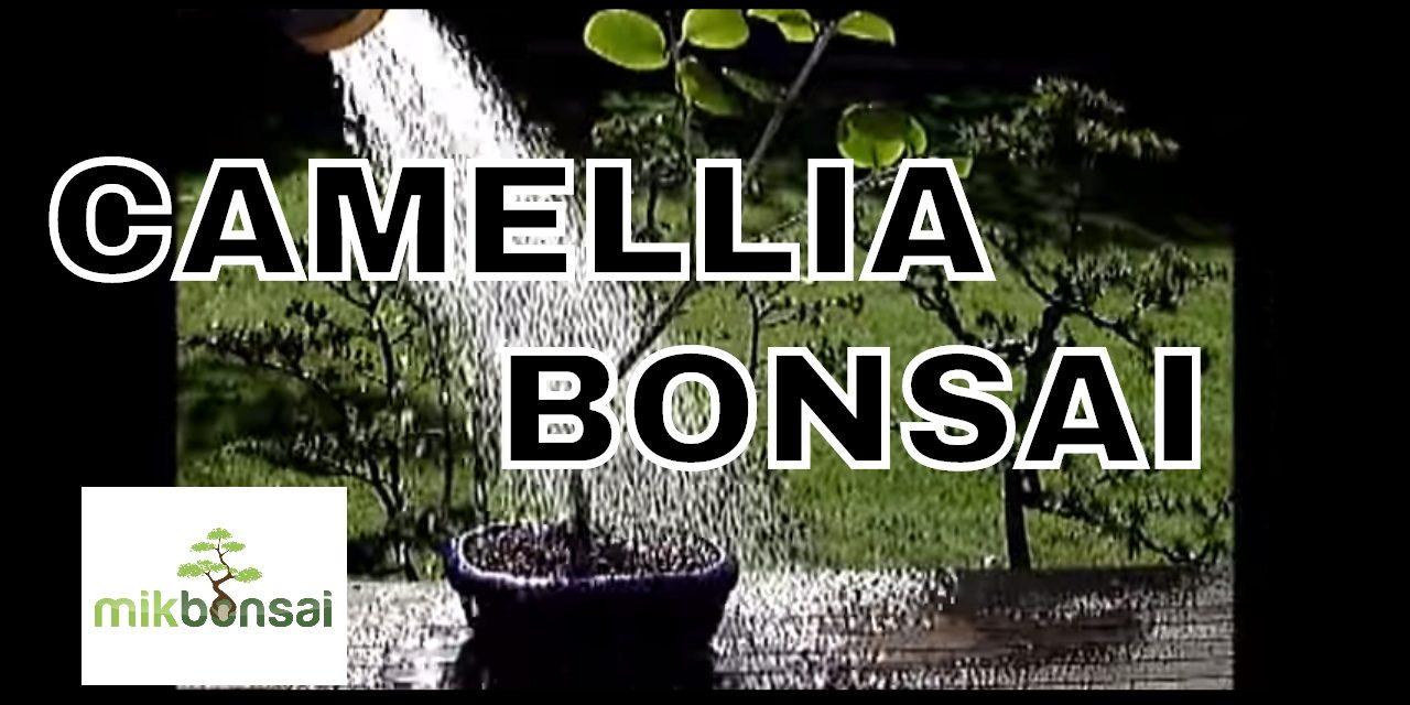 How To Bonsai A Nursery Stock Camellia Part 1 Camellia Bonsai Tree By Mikbonai Mikbonsai Trees South West London