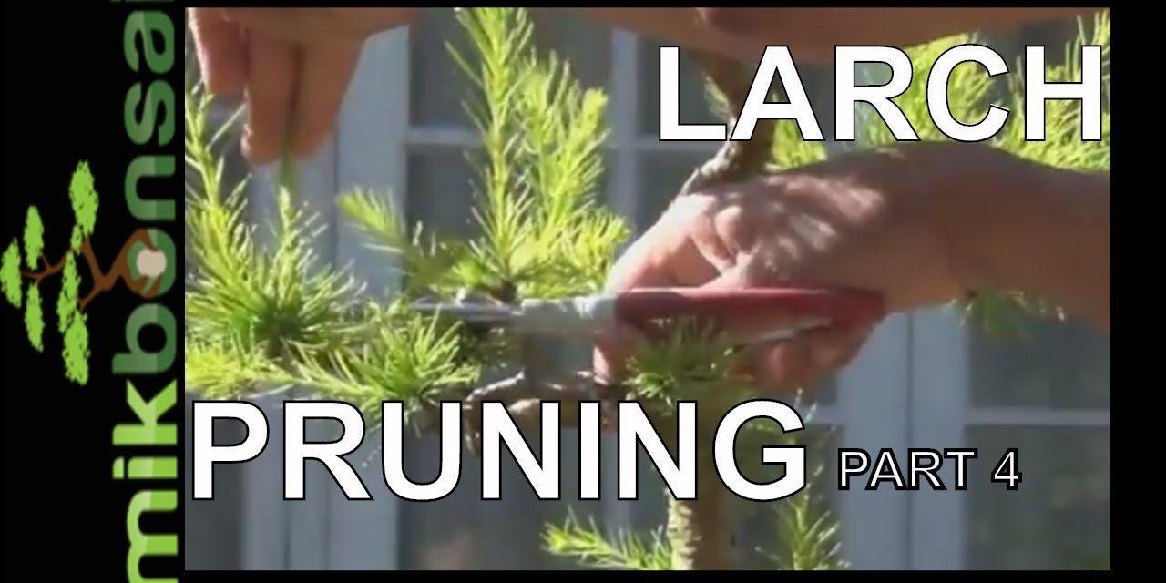 Bonsai Trees Progression Old Larch Larix Decidua European Larch Summer Pruning Part4 By Mikbonasi Mikbonsai Trees South West London