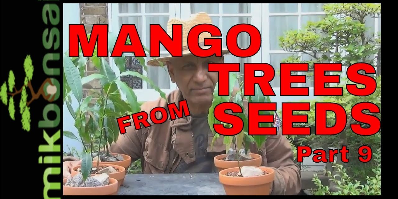 How To Grow Bonsai Mango Trees From Seeds Part 9 Mikbonsai Trees South West London